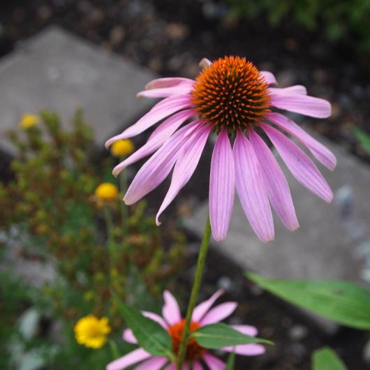 ノウゼンカズラが咲いてます_a0292194_12363815.jpg