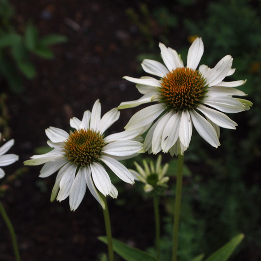 ノウゼンカズラが咲いてます_a0292194_12365756.jpg