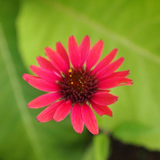 ノウゼンカズラが咲いてます_a0292194_12371659.jpg