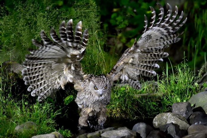 シマフクロウ(Blakiston\'s fish owl)~2014.07(E)_b0148352_038113.jpg