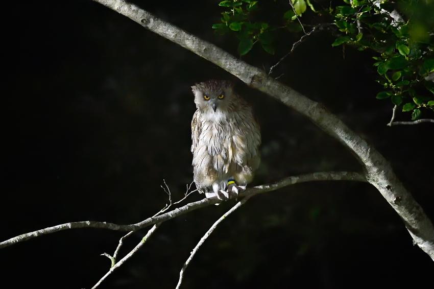シマフクロウ(Blakiston\'s fish owl)~2014.07(E)_b0148352_0401353.jpg