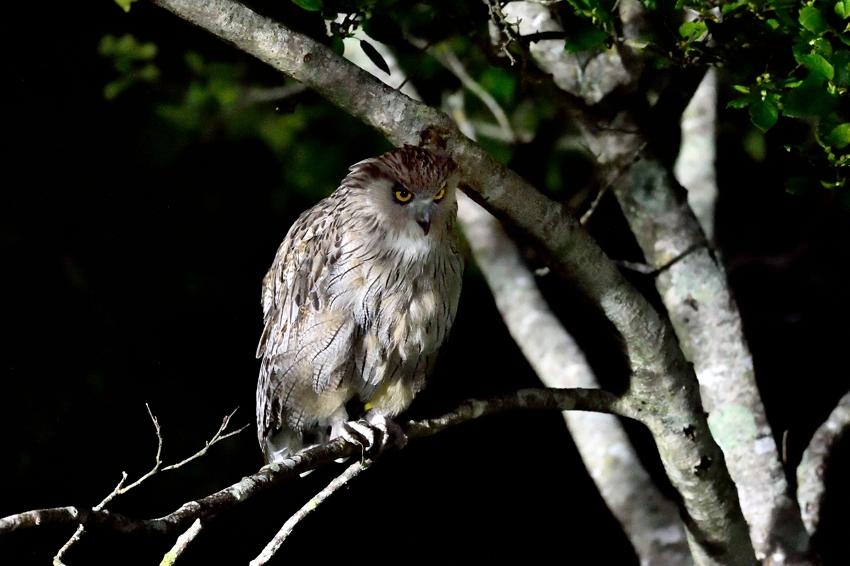 シマフクロウ(Blakiston\'s fish owl)~2014.07(E)_b0148352_0402732.jpg