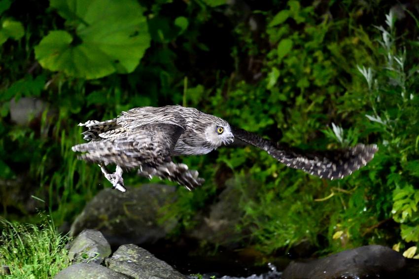 シマフクロウ(Blakiston\'s fish owl)~2014.07(E)_b0148352_0413398.jpg