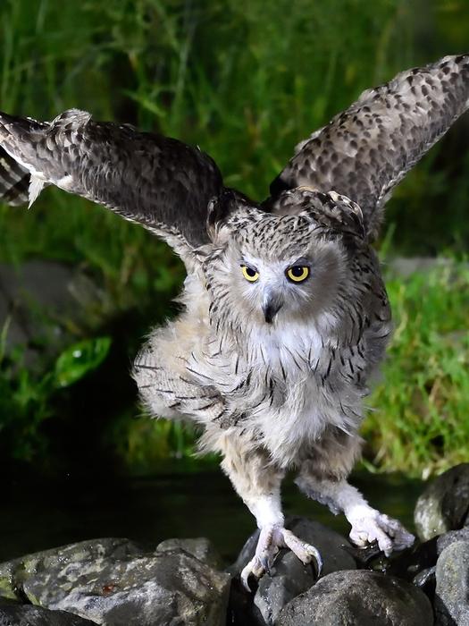 シマフクロウ(Blakiston\'s fish owl)~2014.07(E)_b0148352_13412.jpg