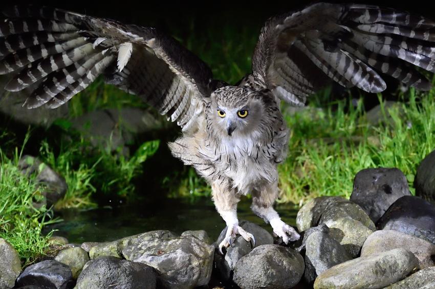 シマフクロウ(Blakiston\'s fish owl)~2014.07(E)_b0148352_14124.jpg