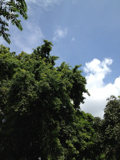 クルンクン ワルンサトリオのサテカンビンと大きなトゥングルンの木_a0120328_2052089.jpg