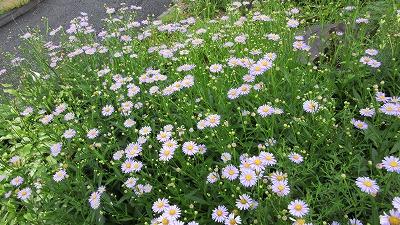 ロックガーデンの花たち22_b0219993_16362727.jpg
