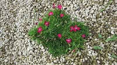 ロックガーデンの花たち22_b0219993_16371414.jpg