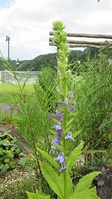 ロックガーデンの花たち22_b0219993_16374359.jpg
