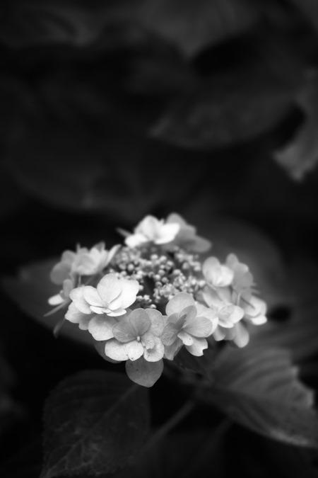 盛りの過ぎた紫陽花をモノクロで_d0116804_9441513.jpg