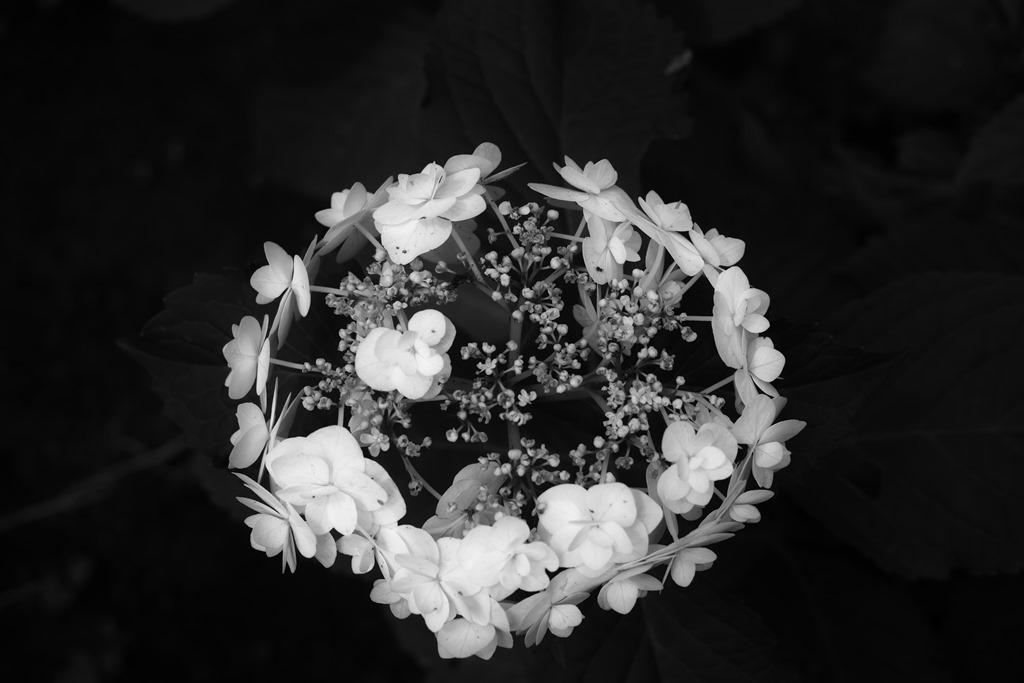 盛りの過ぎた紫陽花をモノクロで_d0116804_9461127.jpg