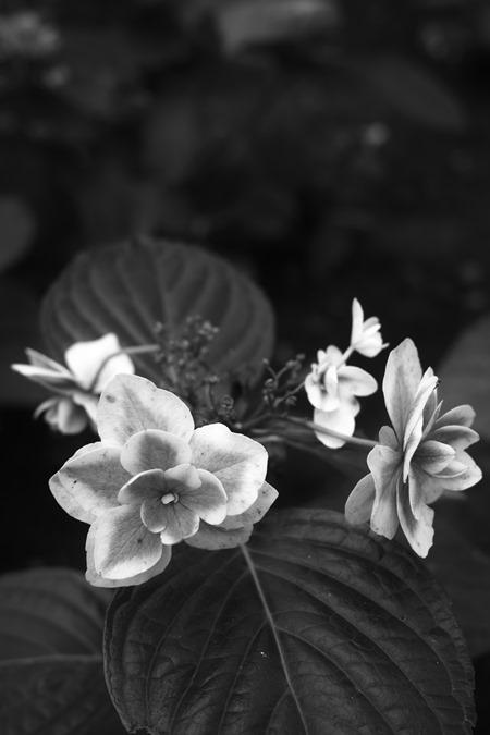 盛りの過ぎた紫陽花をモノクロで_d0116804_9463240.jpg