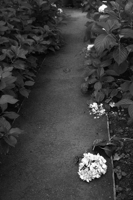 盛りの過ぎた紫陽花をモノクロで_d0116804_9464977.jpg
