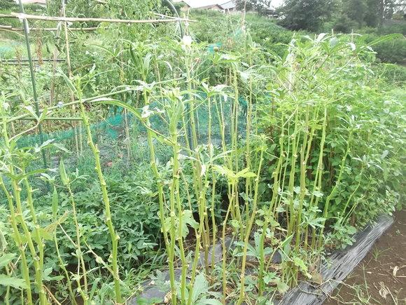 夏野菜は次々と.....終わりです。_b0137932_12421975.jpg