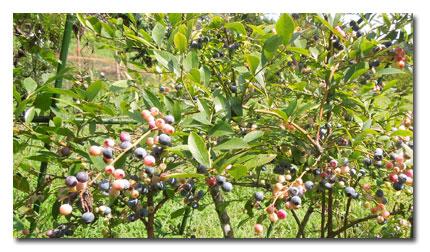 ブルーベリーの収穫_c0051105_23331232.jpg