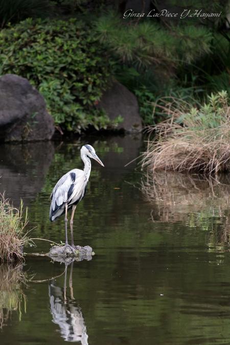 東京の風景 鷺のいる日比谷公園の池_b0133053_145366.jpg