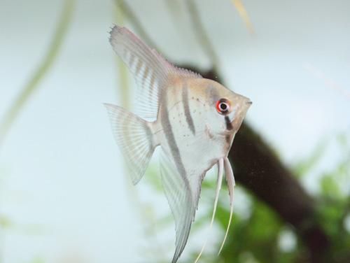 熱帯魚入荷情報!!_c0165800_2054898.jpg