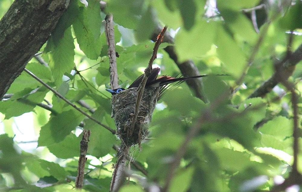 サンコウチョウの巣、小さい、_f0305401_6472090.jpg