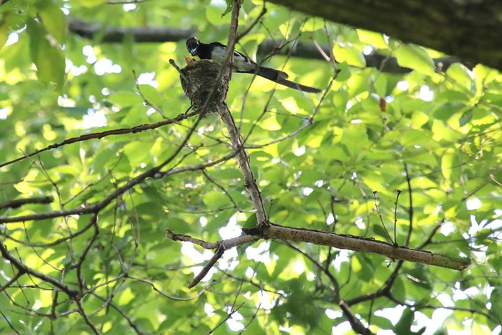サンコウチョウの巣、小さい、_f0305401_649622.jpg
