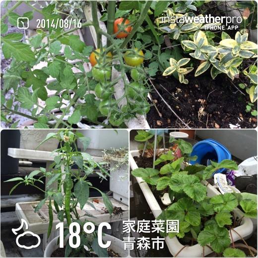 2014/8/16 家庭菜園編_f0116421_2246578.jpg