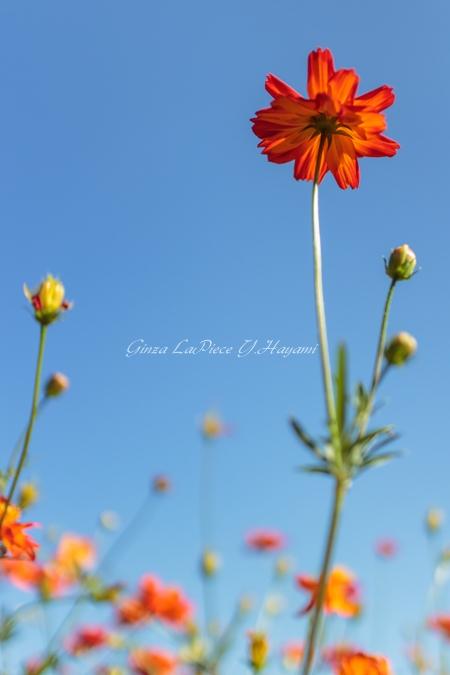 花のある風景 青空とキバナコスモス_b0133053_1222100.jpg