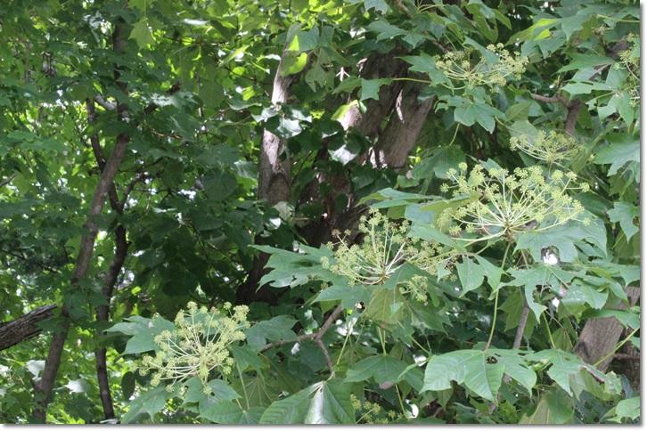 野幌・中央線のクサギ(8・10)_f0146493_1433780.jpg