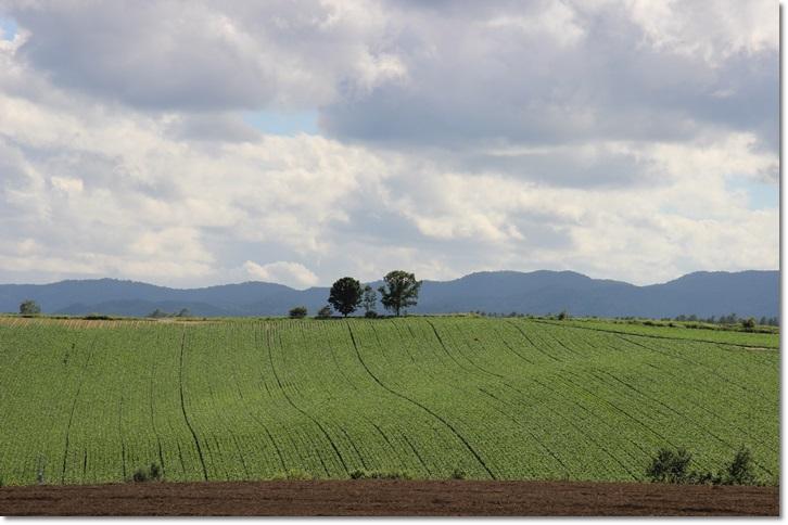 美瑛の丘と雲(8・13)_f0146493_1545217.jpg