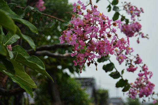夏の花_c0093046_17562949.jpg