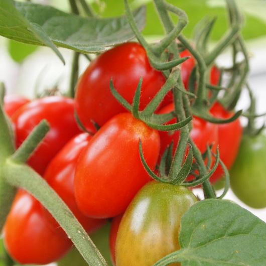 トマト色々_a0292194_1953221.jpg