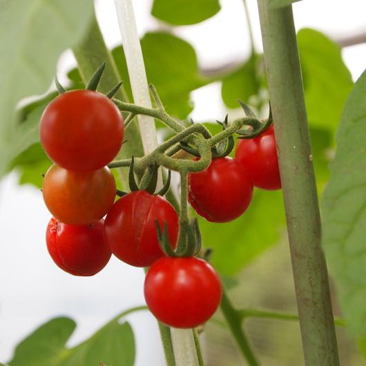 トマト色々_a0292194_200529.jpg