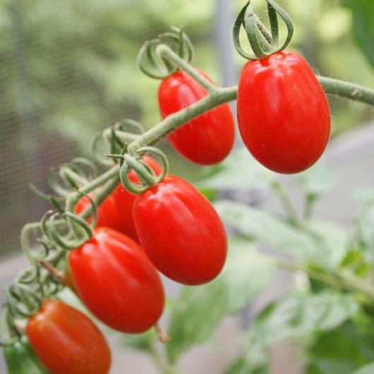 トマト色々_a0292194_2081362.jpg