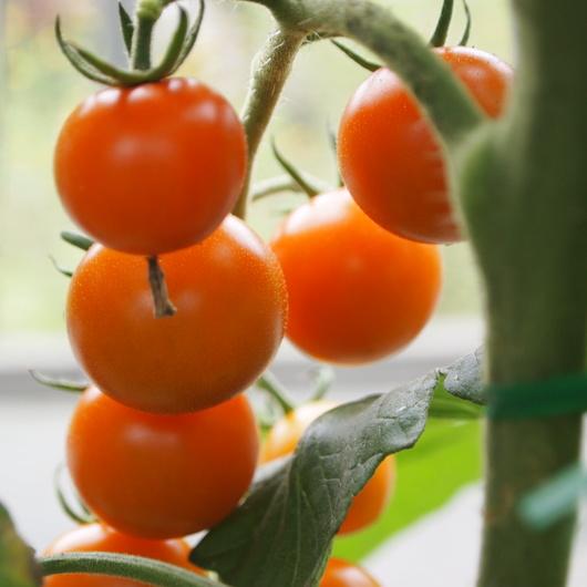 トマト色々_a0292194_2094223.jpg