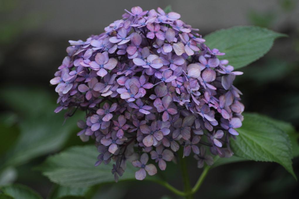 8月の紫陽花  _b0190710_22164342.jpg