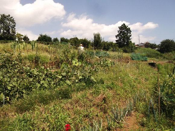 夏から秋に畑は衣替えです。_b0137932_1720095.jpg