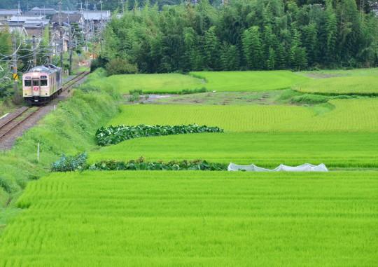 稲が黄色くなってきました_f0266284_22291762.jpg