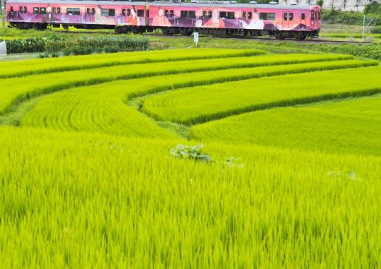 稲が黄色くなってきました_f0266284_22332166.jpg