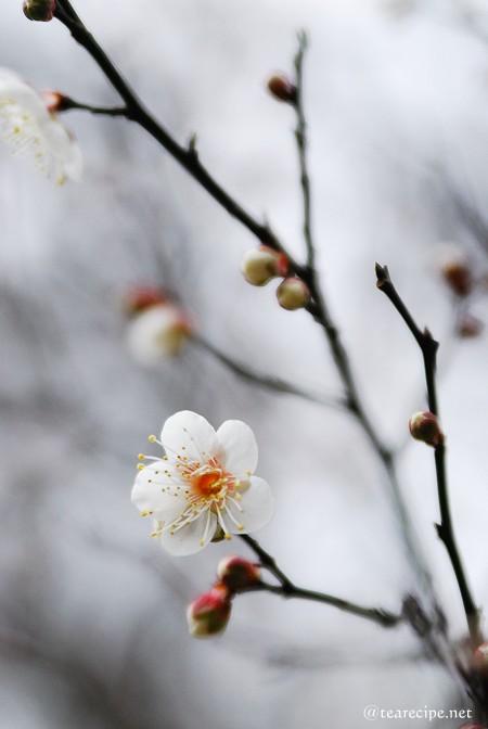 冬の梅_d0227799_10164170.jpg