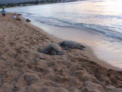 14年7月ハワイ 17★カメとの遭遇、再び_d0285416_824580.jpg