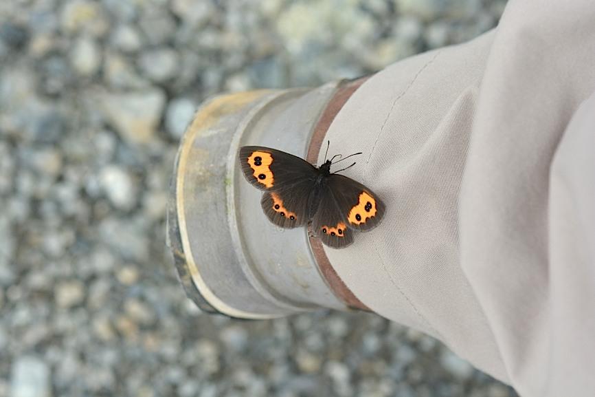 信州の蝶たち2014、その1 ベニヒカゲ三昧(2014年8月21日) _d0303129_2274587.jpg