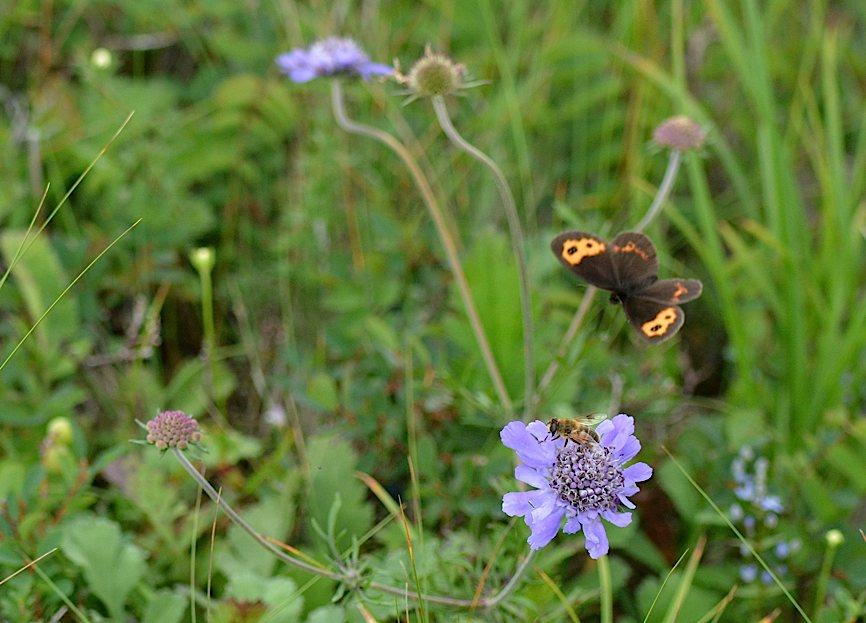 信州の蝶たち2014、その1 ベニヒカゲ三昧(2014年8月21日) _d0303129_2282611.jpg