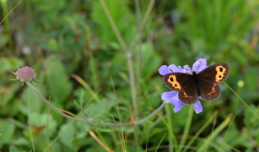 信州の蝶たち2014、その1 ベニヒカゲ三昧(2014年8月21日) _d0303129_2283359.jpg