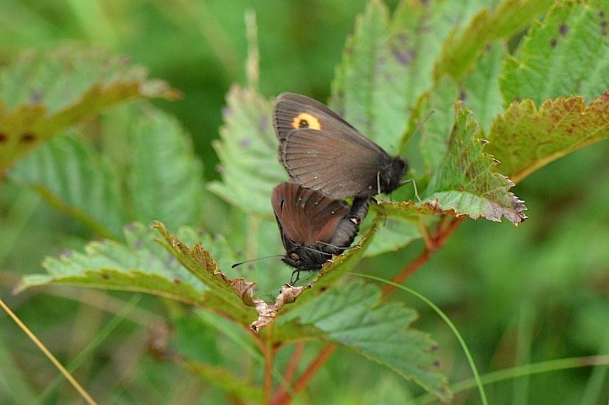 信州の蝶たち2014、その1 ベニヒカゲ三昧(2014年8月21日) _d0303129_2293041.jpg