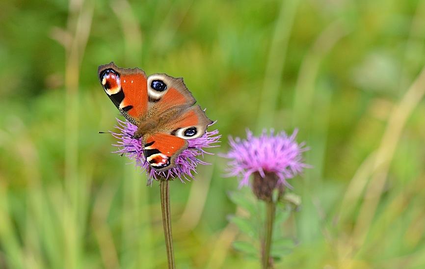 信州の蝶たち2014、その2 クジャクチョウほか(2014年8月22日) _d0303129_2017501.jpg
