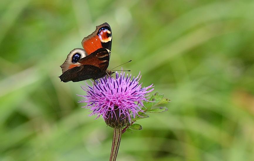 信州の蝶たち2014、その2 クジャクチョウほか(2014年8月22日) _d0303129_20175348.jpg