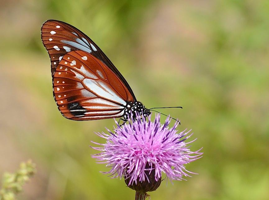 信州の蝶たち2014、その2 クジャクチョウほか(2014年8月22日) _d0303129_2018191.jpg