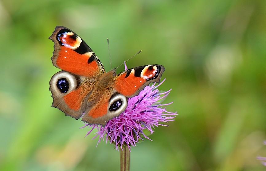 信州の蝶たち2014、その2 クジャクチョウほか(2014年8月22日) _d0303129_2018288.jpg