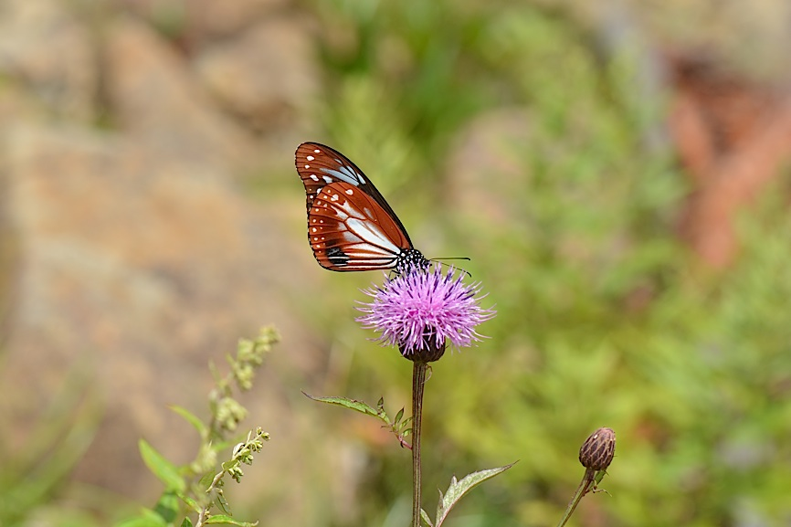 信州の蝶たち2014、その2 クジャクチョウほか(2014年8月22日) _d0303129_20182919.jpg