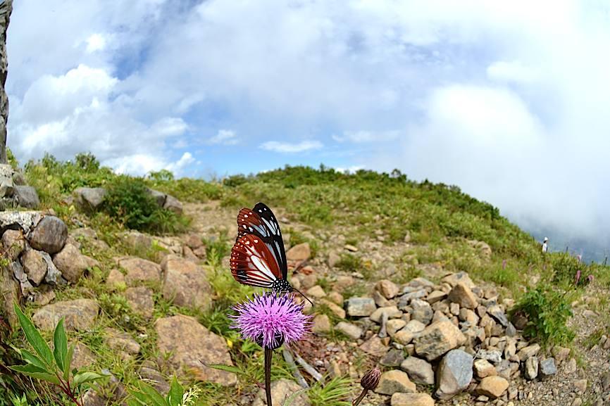 信州の蝶たち2014、その2 クジャクチョウほか(2014年8月22日) _d0303129_20183050.jpg