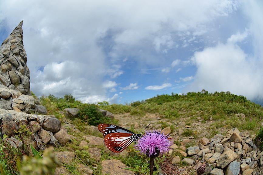 信州の蝶たち2014、その2 クジャクチョウほか(2014年8月22日) _d0303129_20183935.jpg