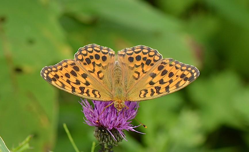 信州の蝶たち2014、その2 クジャクチョウほか(2014年8月22日) _d0303129_20195749.jpg
